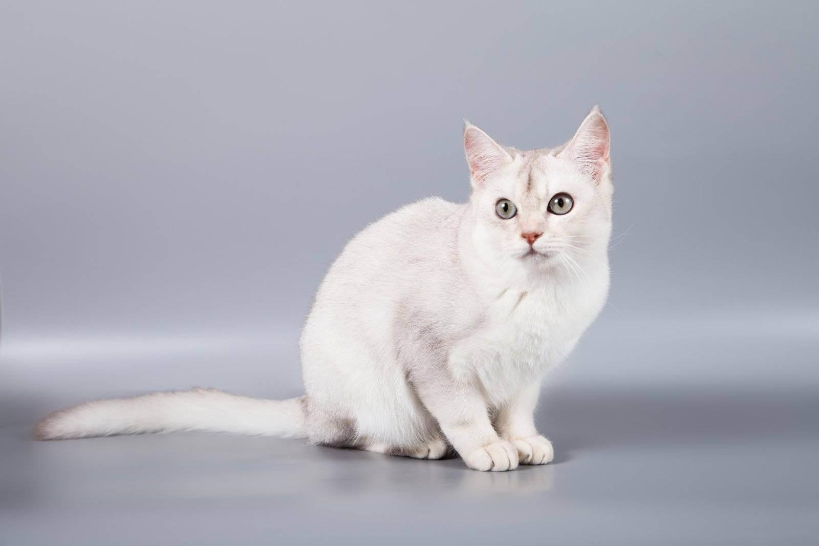 Кошка породы бурмилла: описание и фото, характер животного, особенности содержания