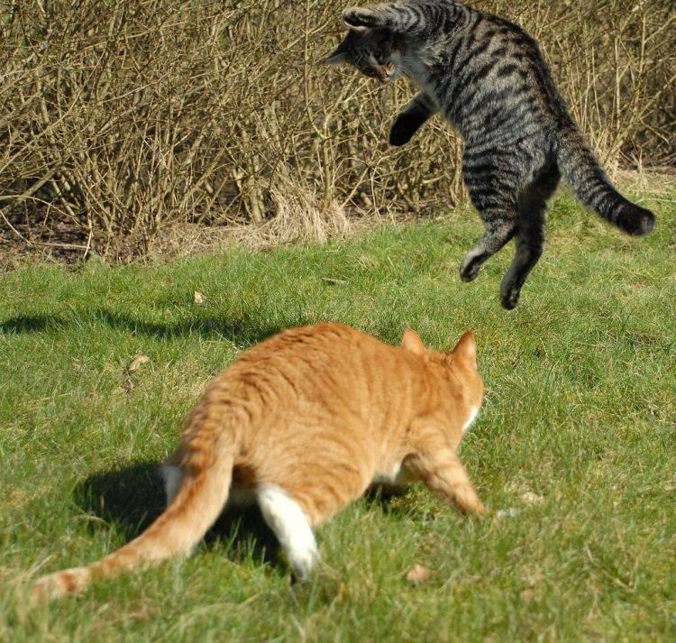 Как дерутся коты