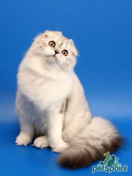 Хайленд фолд: характер, обзор стандартов внешности и описание содержания породистой кошки (120 фото)
