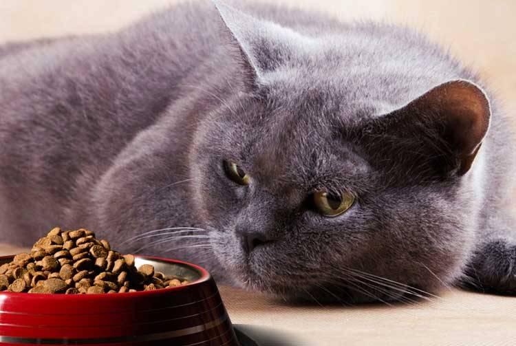 Кошка перестала есть сухой корм – что делать, почему животное отказывается от него?