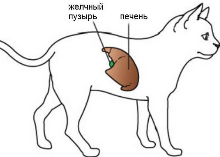 Гепатит у кошек и котов