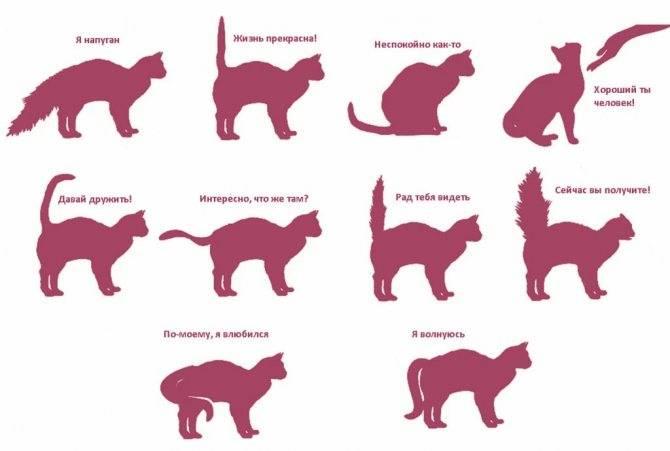 Сальный хвост у кота: причины и лечение (фото)