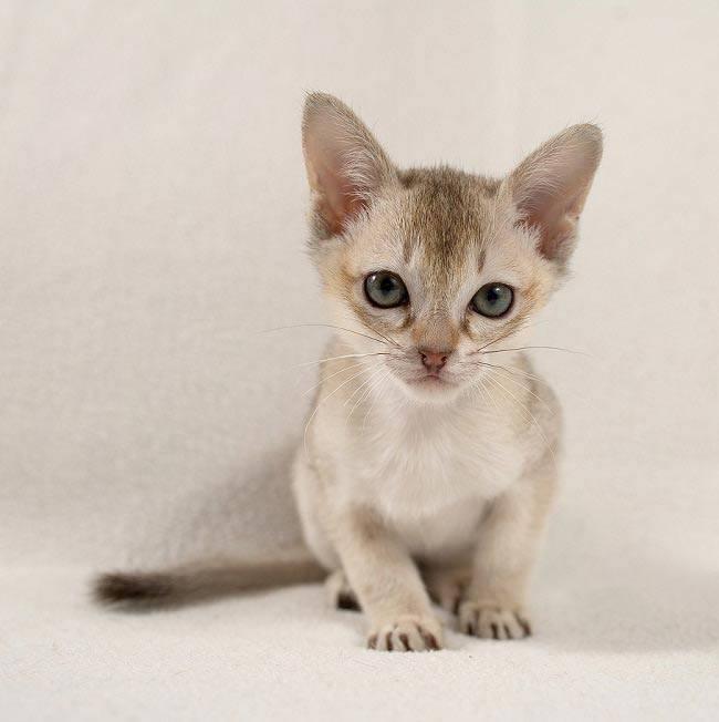 Описание и содержание сингапурских кошек