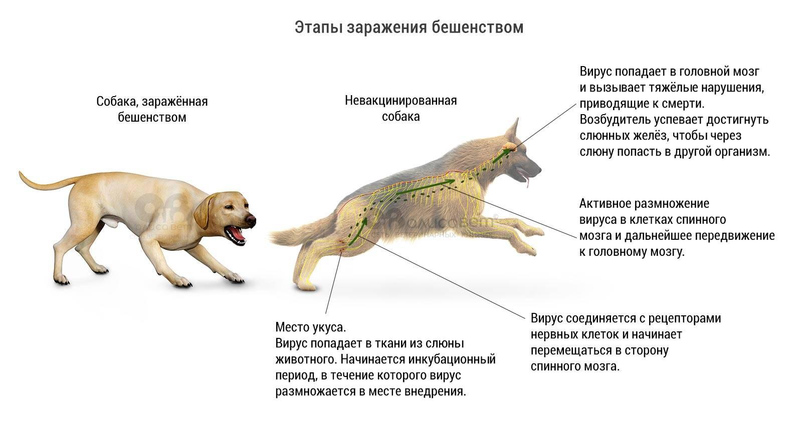 Бешенство у кошек: симптомы, пути заражения, диагностика, лечение, профилактика