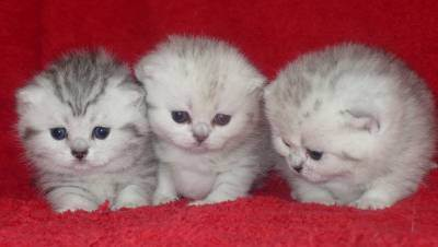 Вязка шотландской вислоухой кошки