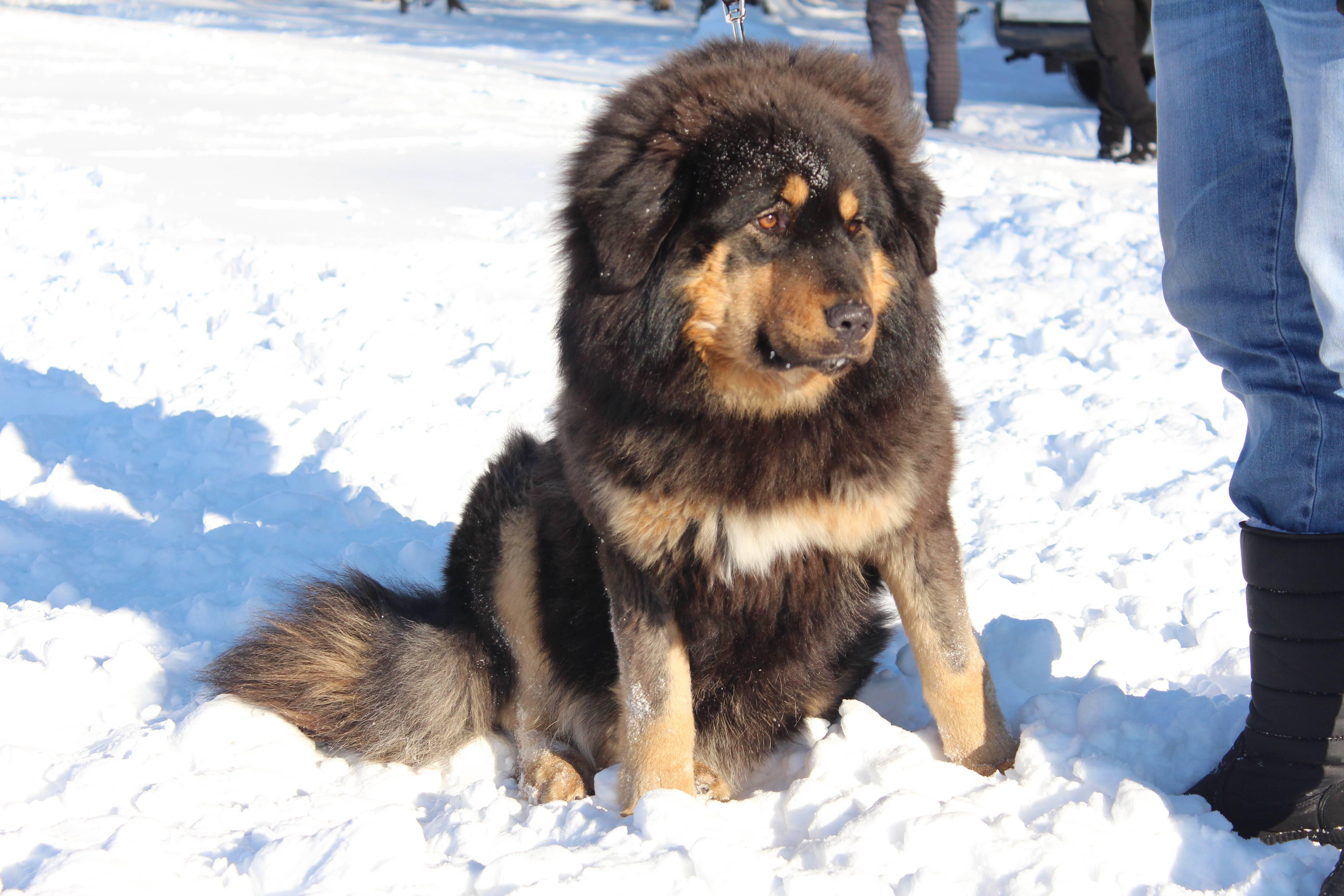 Хотошо собака. описание, особенности, уход и цена породы хотошо