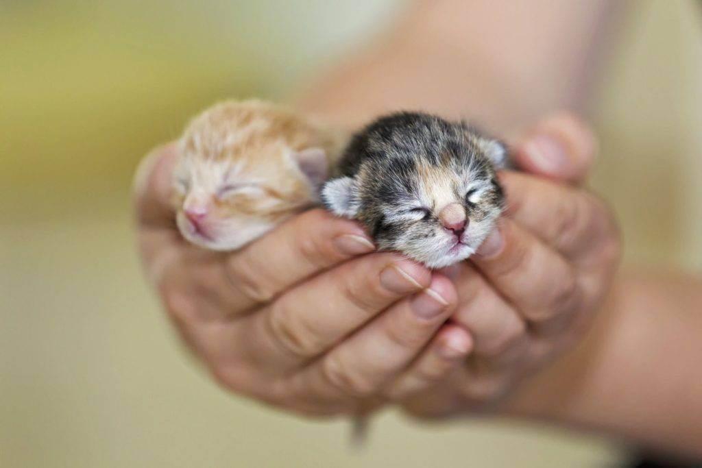 Как самостоятельно выкормить новорожденного котенка