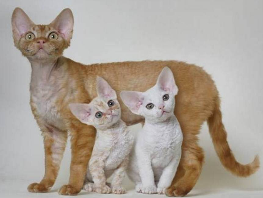 Гипоаллергенные кошки: породы, безопасные для астматиков