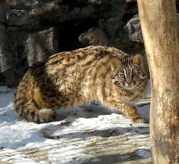 Амурский лесной кот и современные реалии