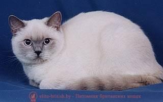 Блю-пойнт: особенности окраса британской породы, как отличить от тайской
