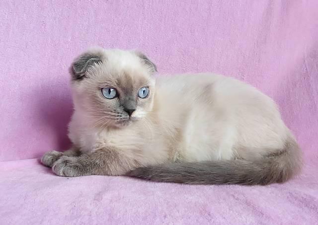 Cиамский кот: описание породы и характера, особенности ухода, цена, фото