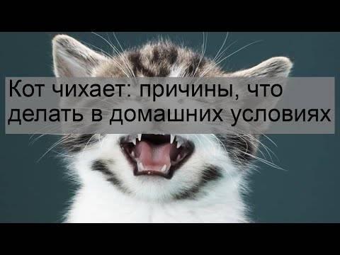 Причины частого чихания у кошек