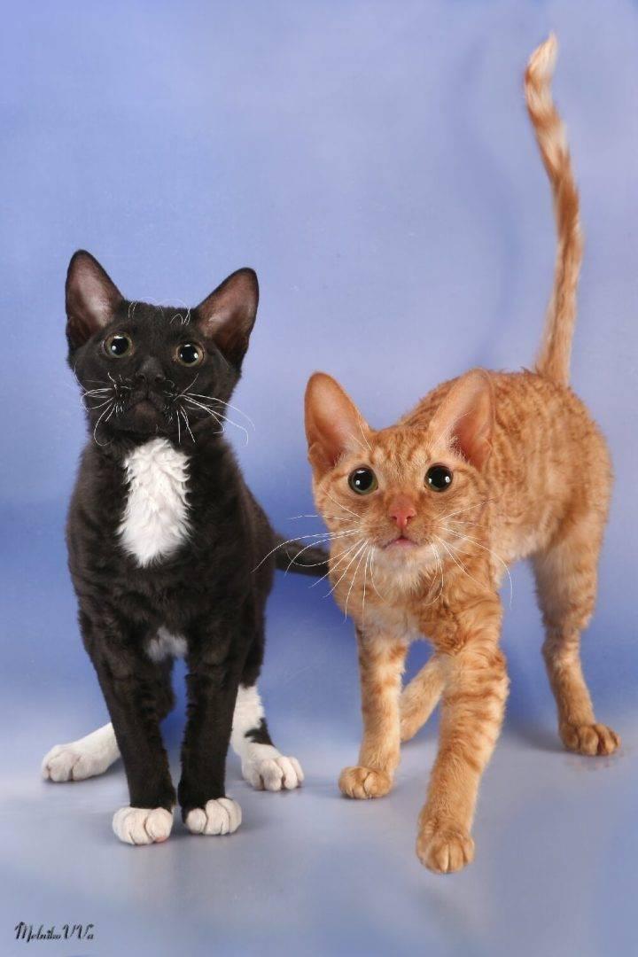 Кошки породы уральский рекс: описание, характер, советы по содержанию и уходу, фото