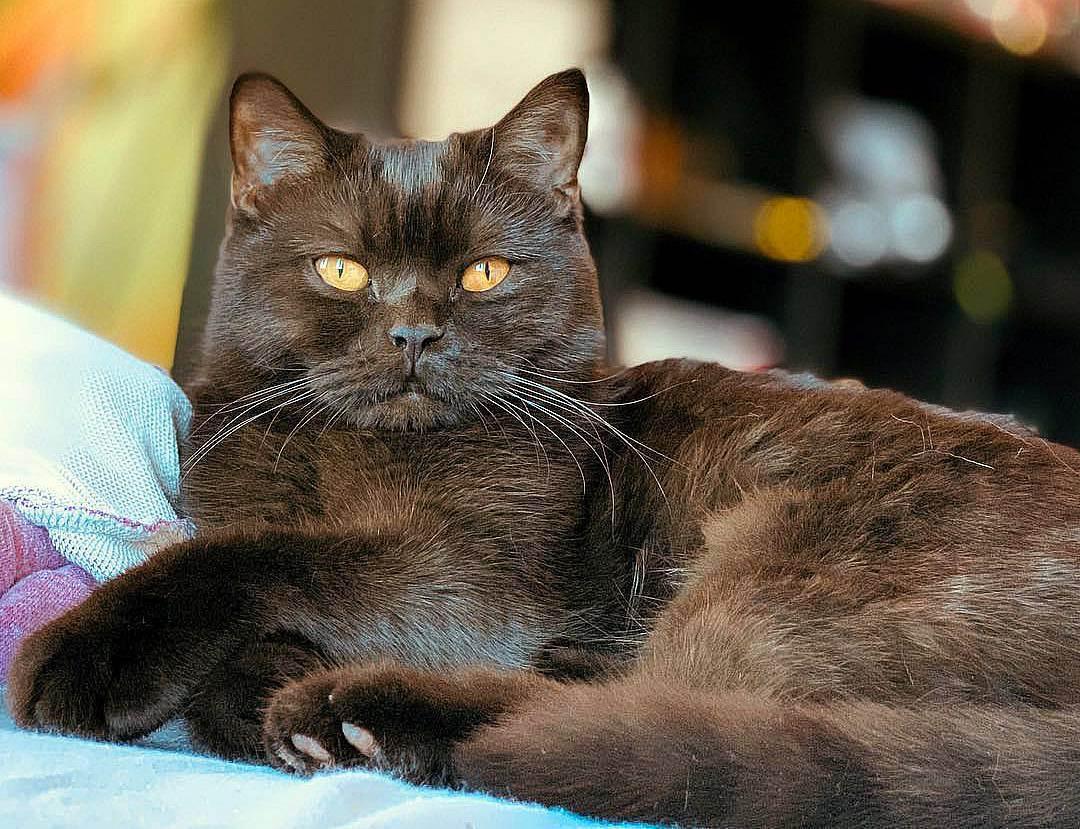 Британская короткошерстная кошка - 130 фото, основные сведения и цена за породистого котенка