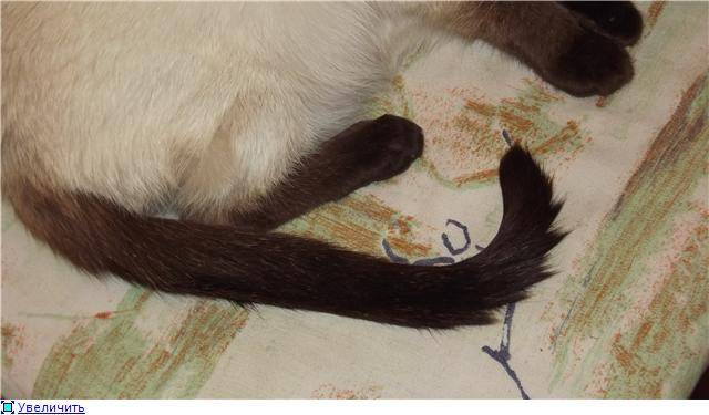Сальный хвост у кота: фото, причины и лечение