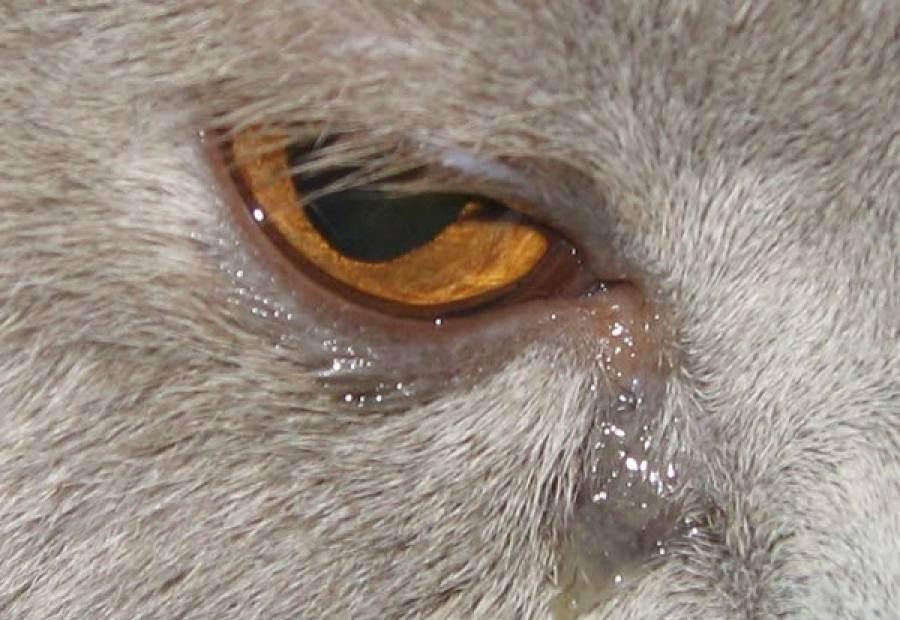 Почему у котенка слезятся глаза - самые распространенные причины