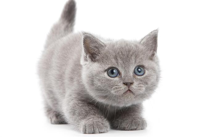 Как правильно ухаживать за британским котёнком. воспитание и питание британцев - onwomen.ru