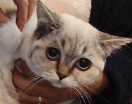 Коричневый налет в ушах у кошки – загрязнение или симптом заболевания
