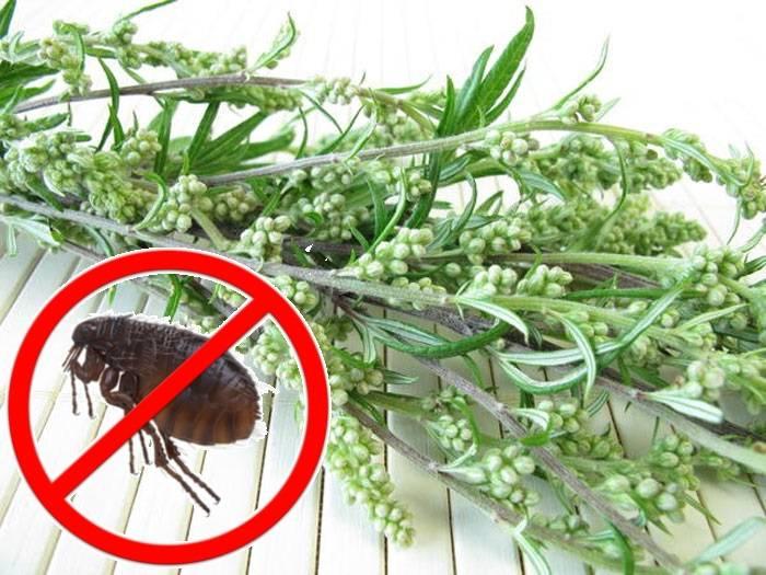 Полынь от блох: достоинства и недостатки травы