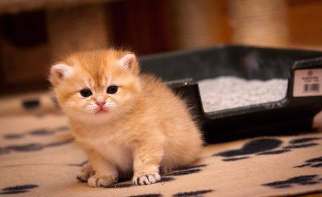 Запор у котенка - советы по решению проблемы