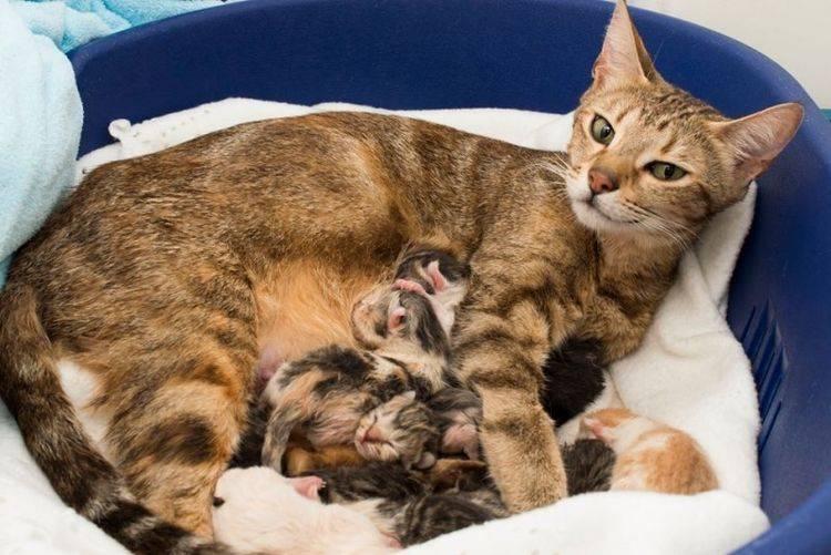Роды у кошки: что нужно, как рождаются котята, как помочь родить