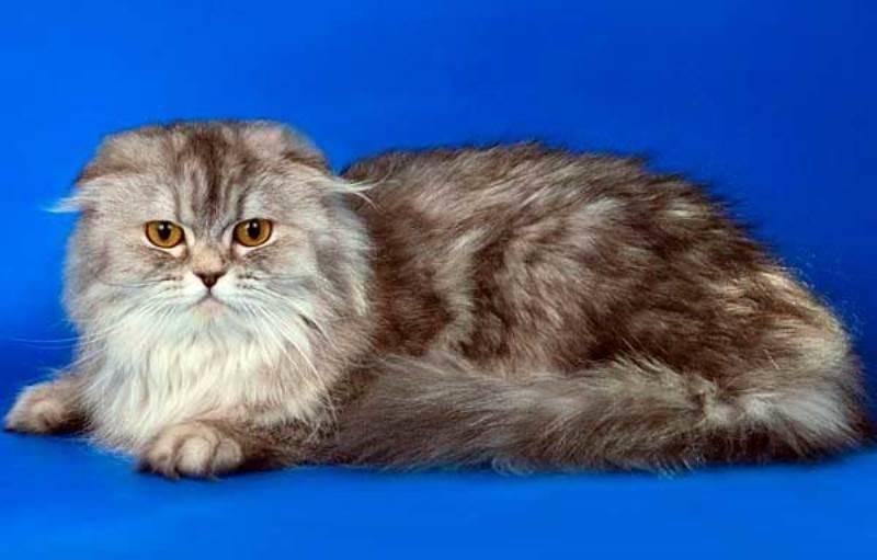 Хайленд-фолд - шотландская вислоухая кошка: описание, характер, уход за хайленд-фолдом