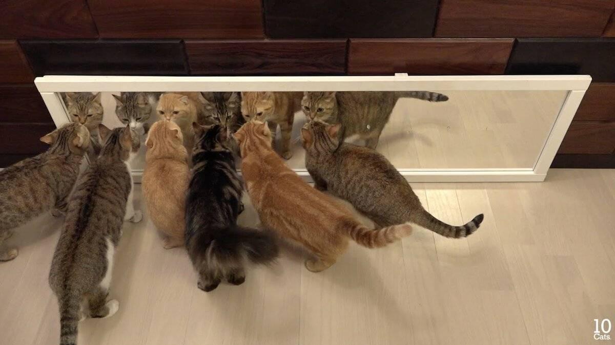 Почему кот смотрит в зеркало и мяукает. а теперь попробуйте разобраться, почему кошка смотрит в зеркало и выписывает перед ним такие кульбиты. незнакомец из зазеркалья: видят ли коты себя в зеркале