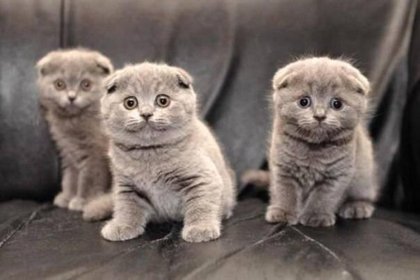 Как выбрать шотландского котенка правильно