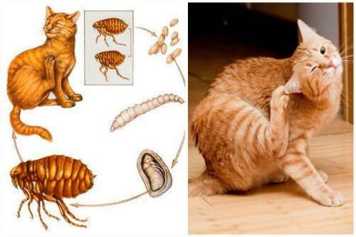 Как избавиться от блох у кошки в домашних условиях: котенка, беременную кошку, лекарства и народные средства