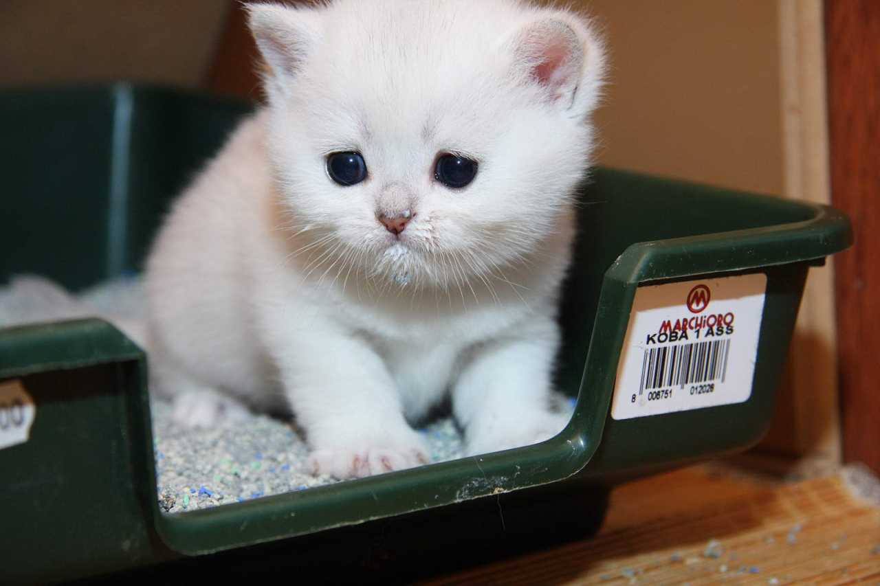 Котенок не ходит в туалет по-большому - что делать? советы ветеринара. слабительное для котят