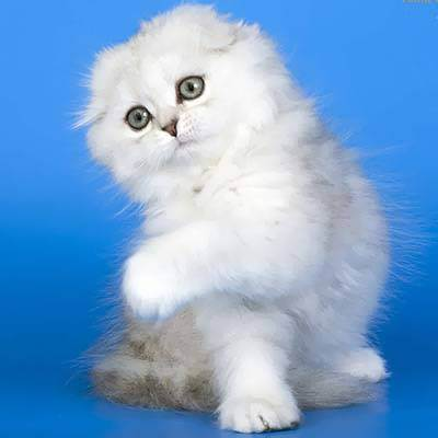 Размеры кошек породы шотландская вислоухая