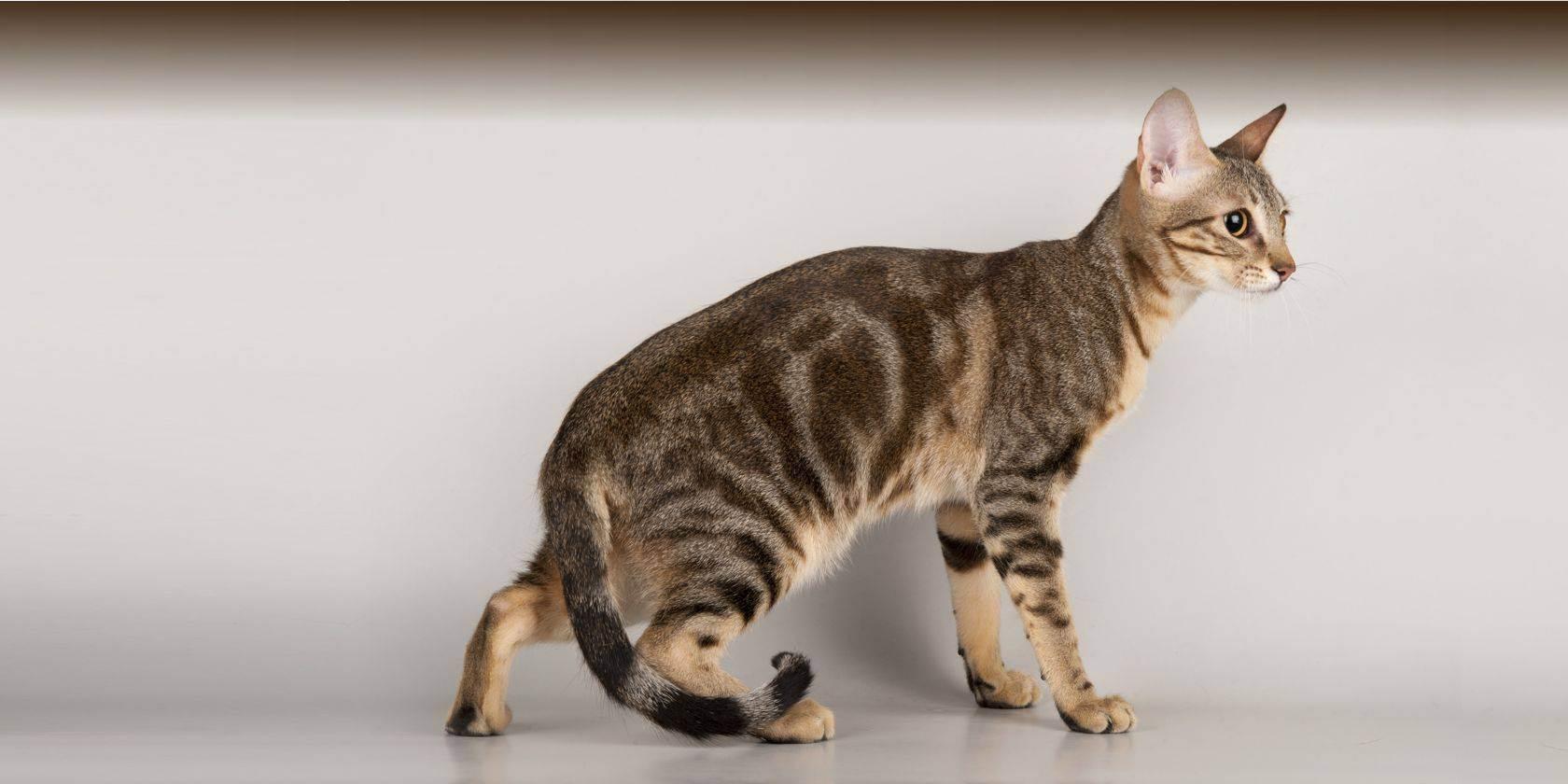 Оцикет кошка: фото и описание породы, характер кота, содержание и уход