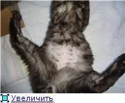 Асцит у кошки: симптомы и лечение