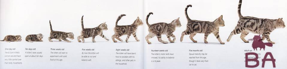Через какое время кошки могут беременеть повторно после недавних родов