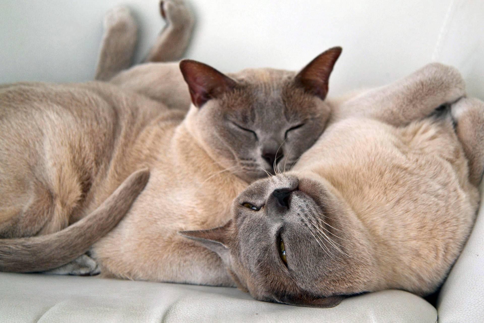 Самые ласковые и добрые породы кошек — список, характеристика и фото