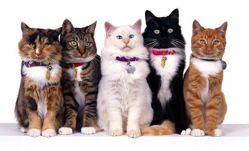 Генетика окрасов кошек.