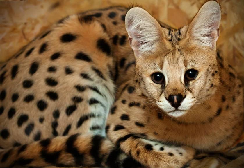 Сервал – ручной гепард в миниатюре