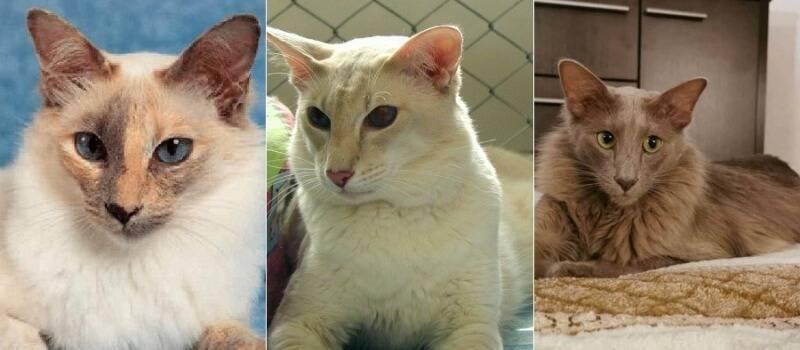Порода кошек яванская описание