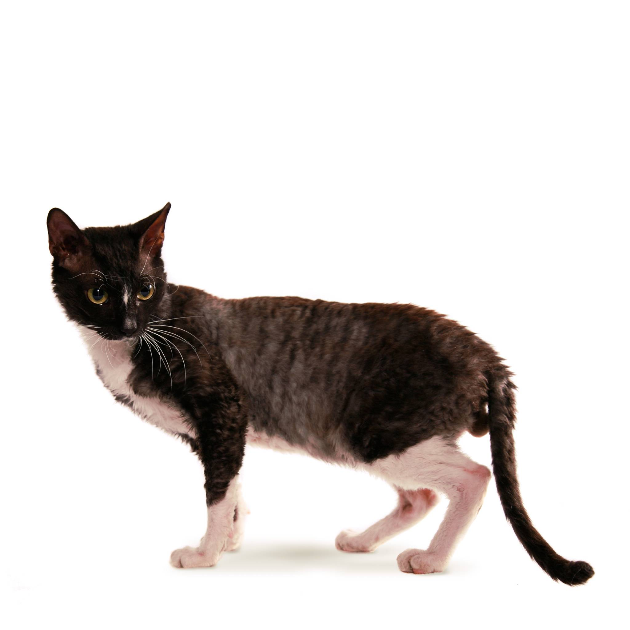 Корниш рекс: описание породы, характер, 30 фото, вобор котенка