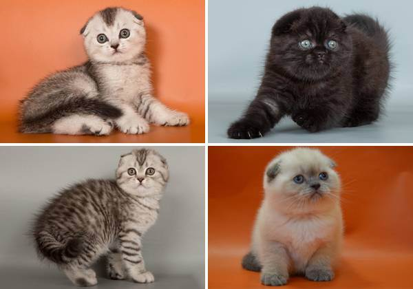 Как правильно выбрать котенка британской кошки