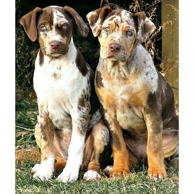 Албанский питбуль: как выглядит питомец на фото, в каком уходе нуждается и как правильно выбрать пятнистого щенка