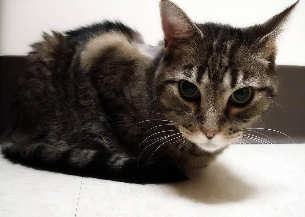 Гастрит у кошек: симптомы, лечение, корм | zoosecrets