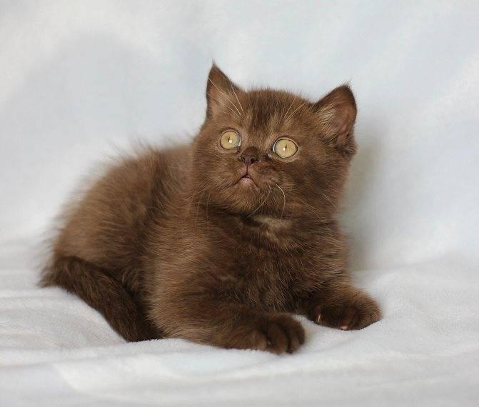 Британская порода кошек: полный обзор + фото