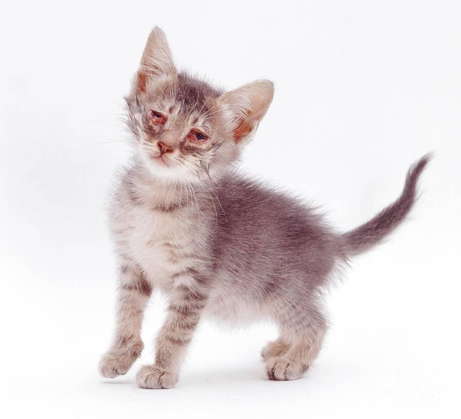 Хламидиоз у кошек: симптомы, лечение