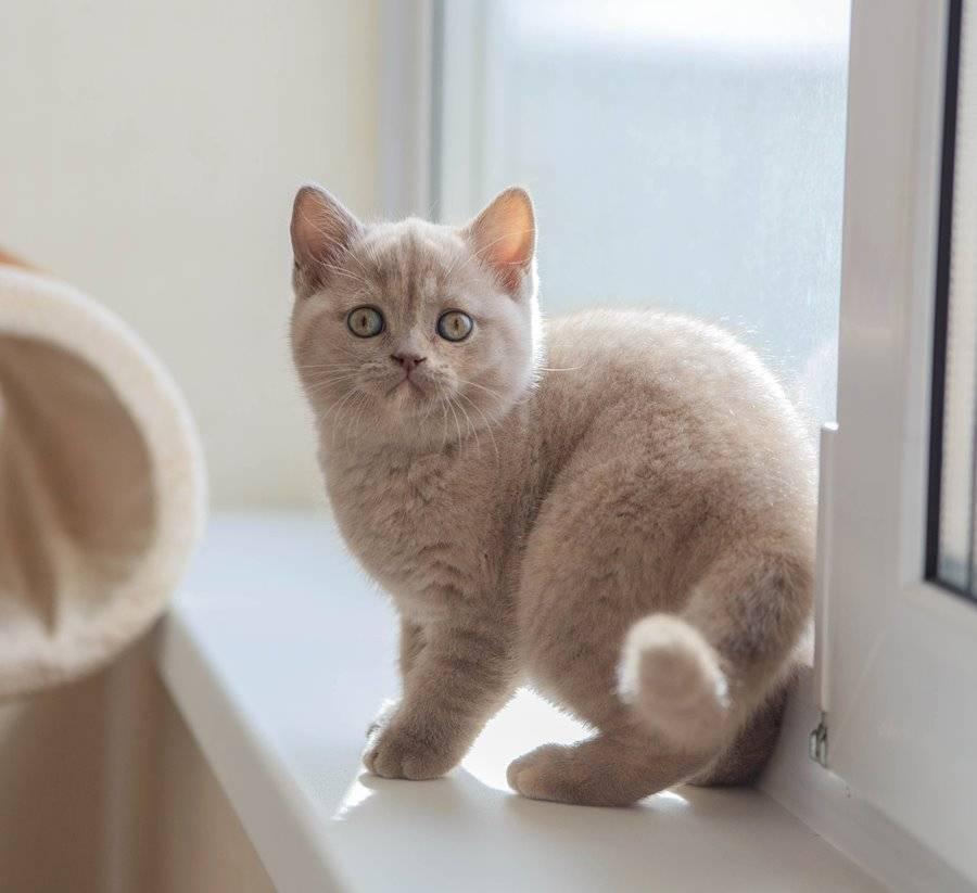 Как назвать британского котенка мальчика и девочку, популярные клички, имена по окрасу