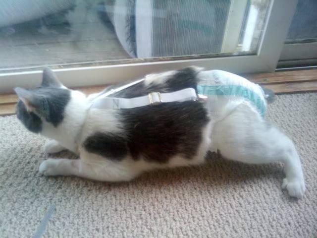 Памперсы для котов и кошек: для чего нужны и как ими пользоваться