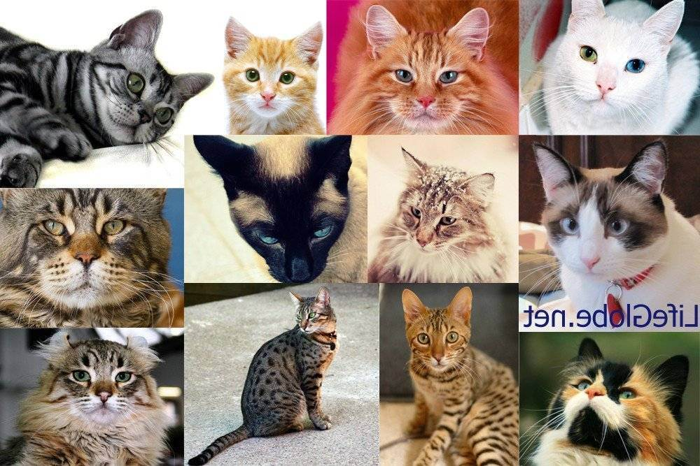 Окрасы шотландских кошек: распространенные и редкие виды расцветок шерсти