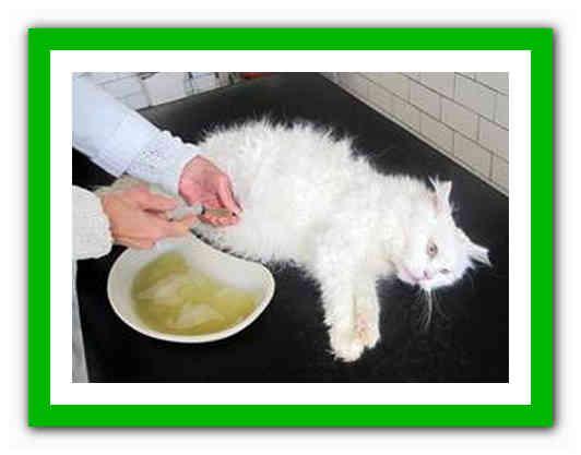 Вирусный перитонит у кошек: симптомы, лечение, профилактика вирусный перитонит у кошек: симптомы, лечение, профилактика