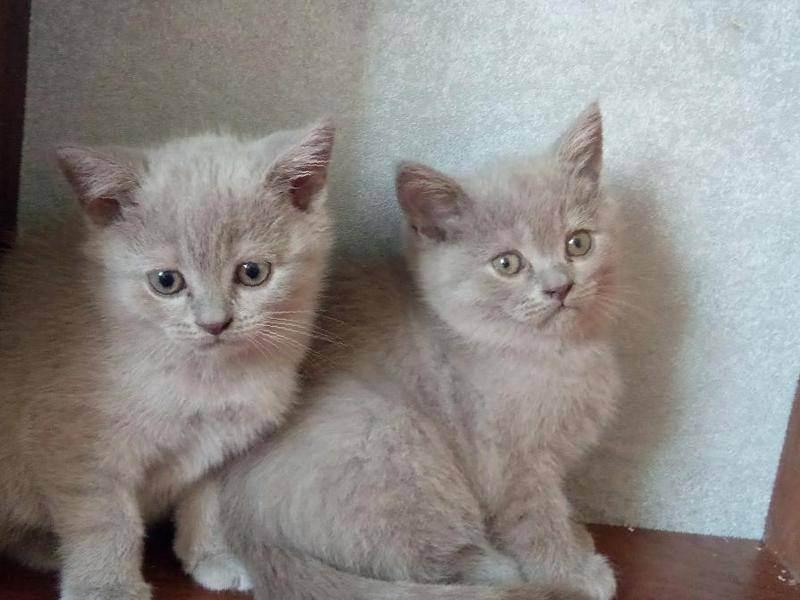 Скоттиш страйт – подробный обзор шотландской прямоухой кошки