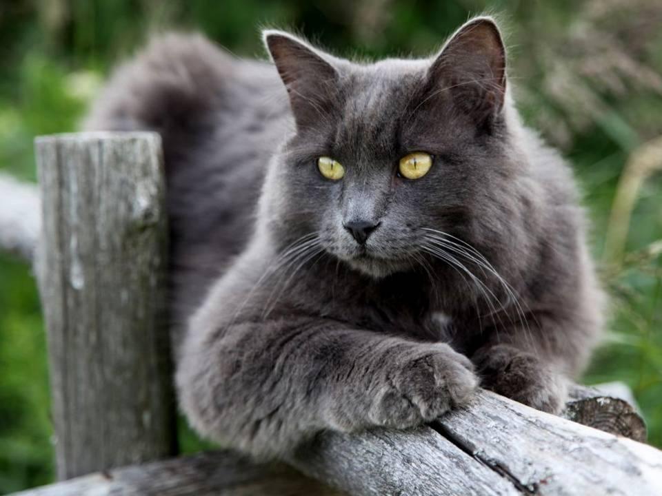 Русская голубая кошка: фото, описание породы, характер, цена